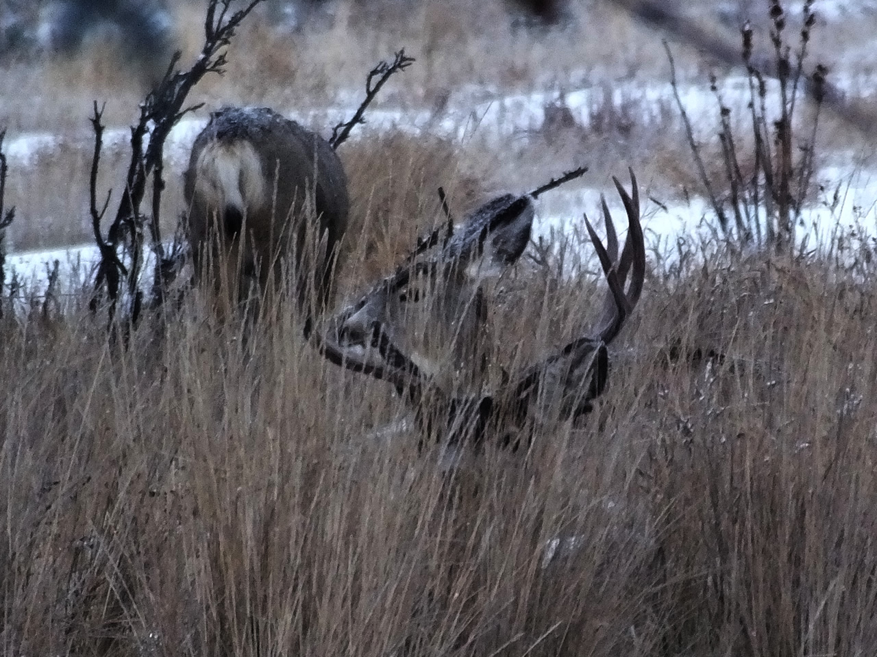 HS50exr Photo of Four Point Mule Deer with broken antler in grass