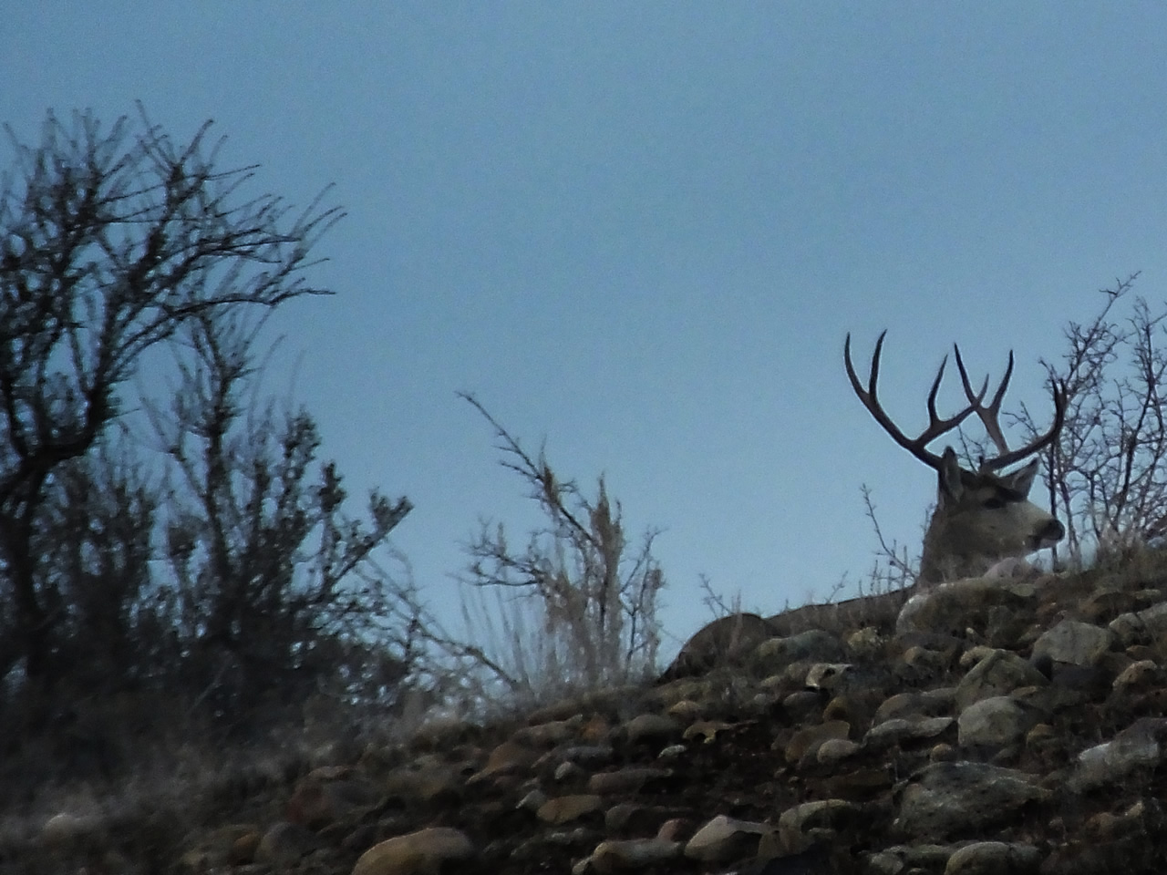 HS50exr Photo of Four Point Mule Deer bedded on ridge