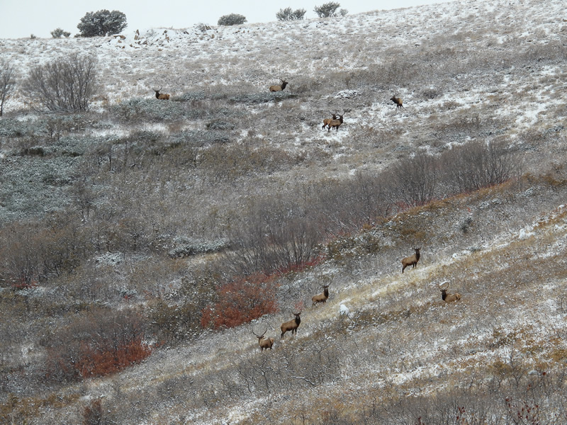Bull Elk Everywhere - Durst Mountain CWMU