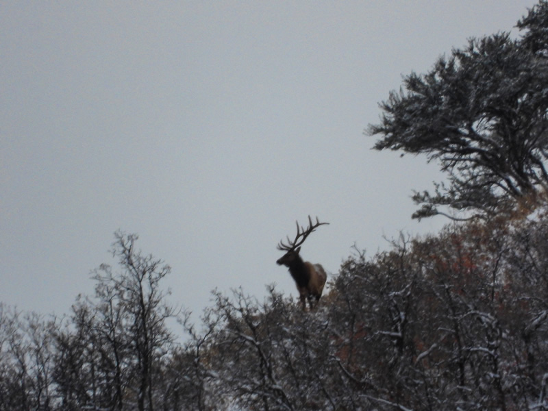 Bull Elk Skylined- Durst Mountain CWMU