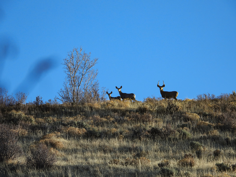 Mule deer on the skyline.