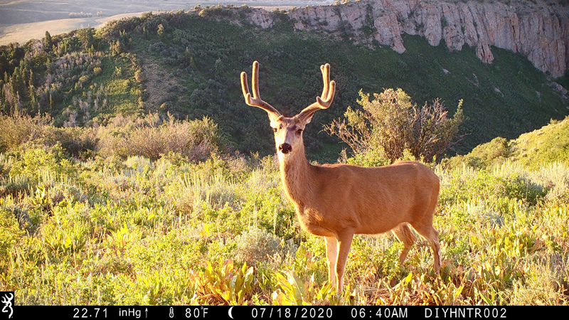 Mule Deer photo with Browning Cellular Trail Camera