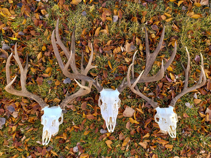 DIY European Mule Deer Skull Mounts